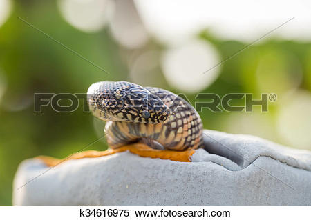Stock Image of Lampropeltis getula meansi, commonly known as.