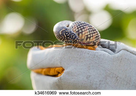 Stock Photograph of Lampropeltis getula meansi, commonly known as.