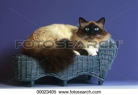 Stock Image of Burma, Juniors, Sacred, Sacred cat of Burma, animal.
