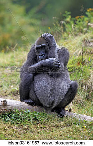 "Picture of ""Western Lowland Gorilla (Gorilla gorilla gorilla."