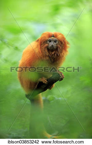 "Stock Photo of ""Golden Lion Tamarin (Leontopithecus rosalia."
