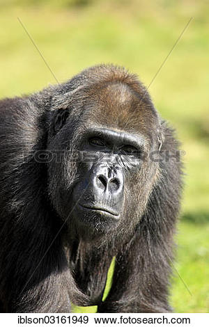 "Stock Photograph of ""Western Lowland Gorilla (Gorilla gorilla."