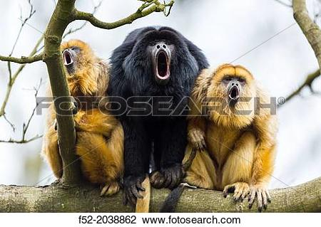 Stock Photo of BLACK HOWLER Alouatta caraya. Apenheul Zoo, Holland.