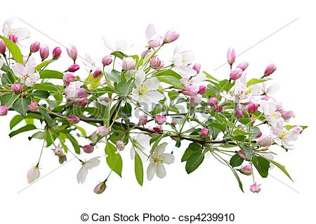 Stock Photography of Blooming apple tree branch isolated on white.