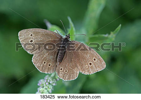 Stock Image of Ringlet (Aphantopus hyperantus). Butterfly on a.