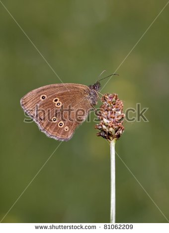Aphantopus Ringlet Butterfly Hyperantus Stock Photos, Images.