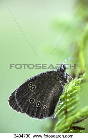 Stock Photography of Ringlet (Aphantopus hyperantus) sitting on.