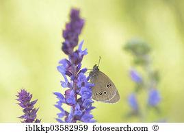 Aphantopus hyperantus Stock Photo Images. 67 aphantopus hyperantus.