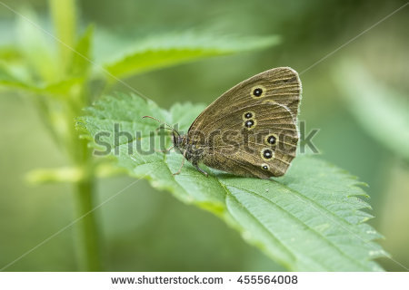 Ringlet Butterfly Stock Photos, Royalty.