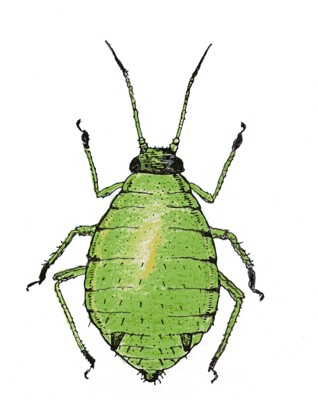 Aphids Clipart.
