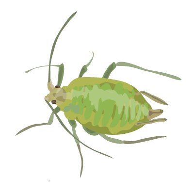 File:201412 green peach aphid.png.