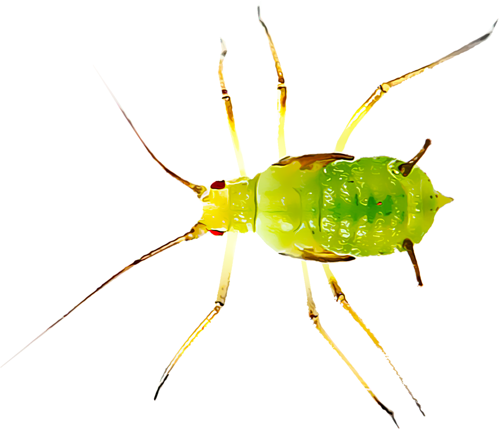 HD Aphids Are One Of The Most Common Insect Pests Found.