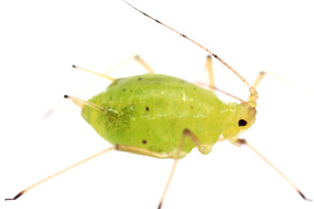Aphid Signs of Infestion.