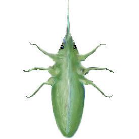 Diax aphid.