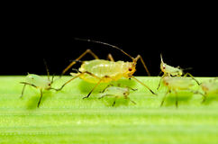Aphid Stock Illustrations.