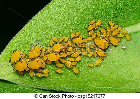 Picture of Orange Milkweed Aphids.