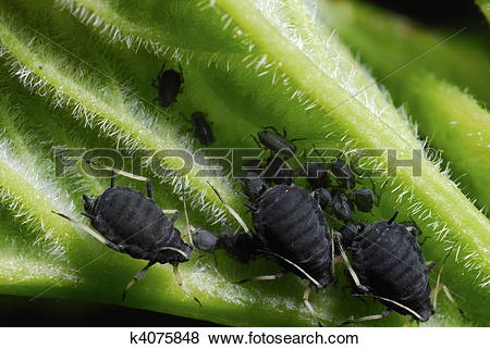 Pictures of colony of black bean aphids (Aphis fabae) k4075848.