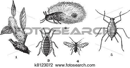 Clipart of Aphids or plant lice, 1. Woolly adelgid. 2. Woolly.