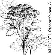 Apiaceae Clipart and Illustration. 44 apiaceae clip art vector EPS.