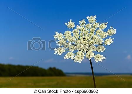 Stock Photo of Flowering of Apiaceae plant.