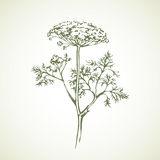 Apiaceae Stock Illustrations.