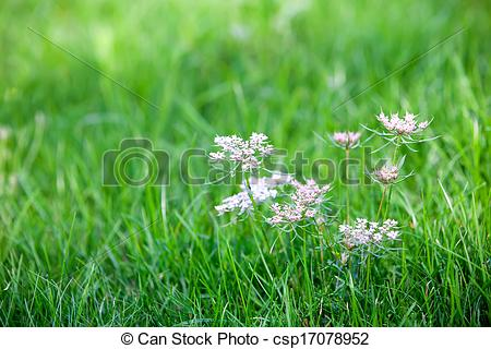 Stock Images of Caraway is a biennial plant in the family Apiaceae.