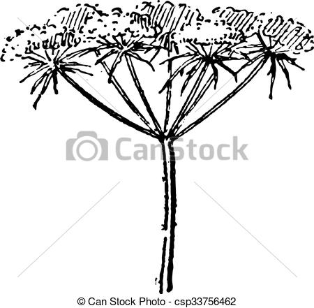 Apiaceae Clipart and Stock Illustrations. 52 Apiaceae vector EPS.