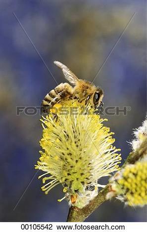 Stock Photo of bee, Juniors, apis, animals, animal, bees, Apidae.