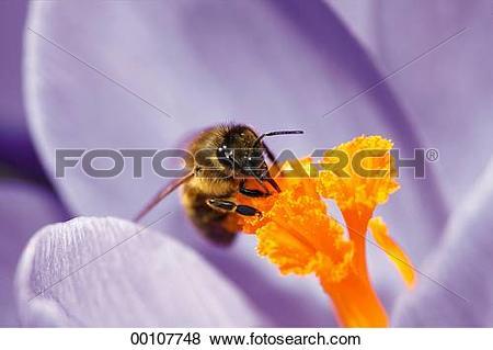 Pictures of bee, Juniors, apis, animals, animal, Apidae 00107748.