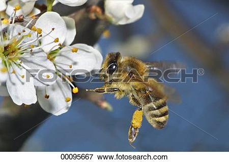 Picture of bee, Juniors, apis, animals, animal, Apidae 00095667.