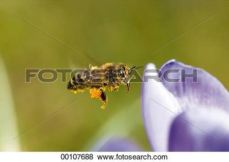Pictures of bee, Juniors, apis, animals, animal, bees, Apidae.