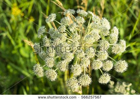 Apiaceae Stock Photos, Royalty.