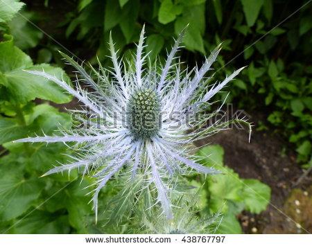 Apiaceae: Stock Photos, Royalty.