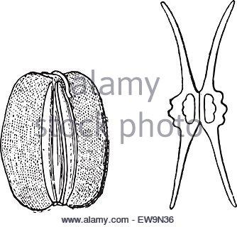Apiaceae Stock Photos & Apiaceae Stock Images.