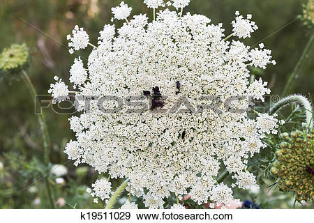 Stock Photograph of Wild plants apiaceae in forest . Israel.