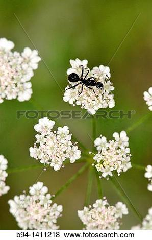 Pictures of Ant on flowers of Apiaceae plant. Osseja, Languedoc.