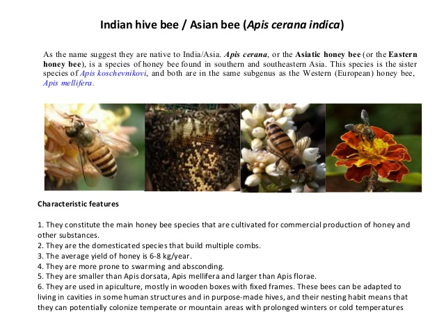 honey bees in India.