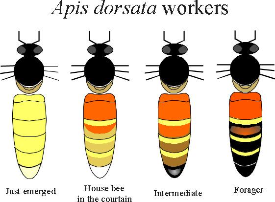 WOYKE Bee.