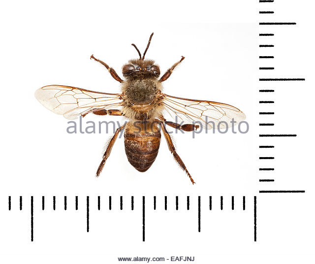 Apidae Cut Out Stock Images & Pictures.