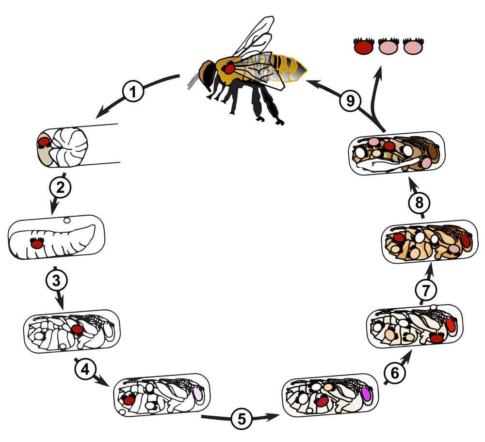 Managing Varroa Mites in Honey Bee Colonies.