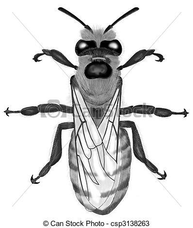 Drawings of Honey Bee.