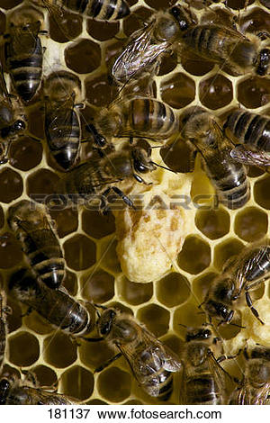 Picture of European Honey Bee, Western Honey Bee (Apis mellifera.