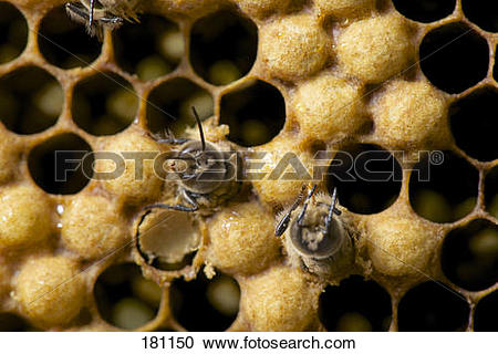 Stock Photography of European Honey Bee, Western Honey Bee (Apis.