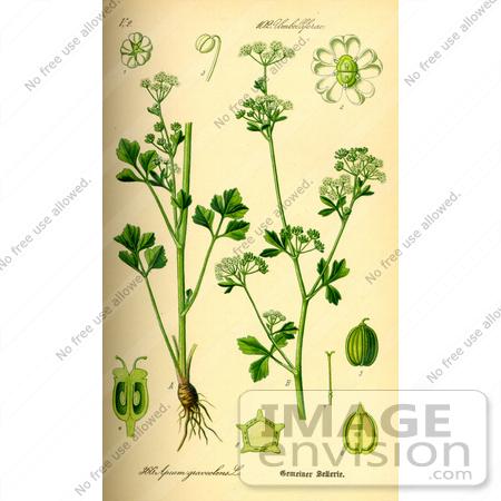 Picture of Celery (Apium graveolens).