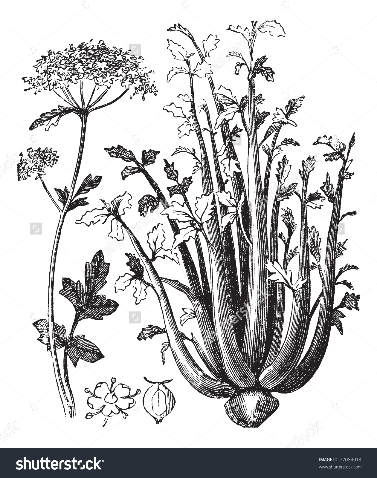 Celery Or Selinon Or Apium Graveolens Vintage Engraving. Old.