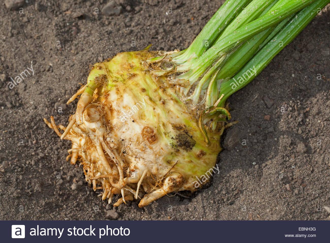 Celery, Celeriac, Turnip.