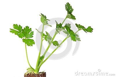 Celery. Apium Graveolens Rapaceum. Royalty Free Stock Photography.