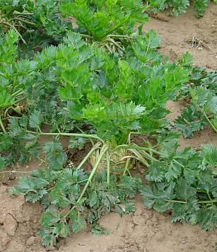 Apium graveolens L. var. rapaceum (Mill.) Gaudin.
