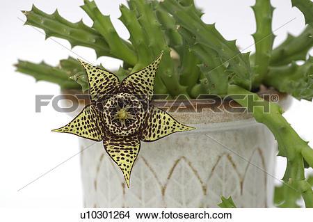 Stock Photo of bloom, kokardenblume, asclepiadoideae, apocynaceae.