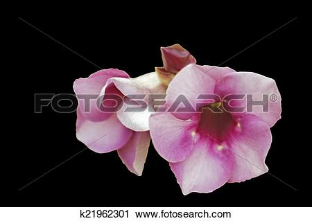 Stock Photography of The Apocynaceae.